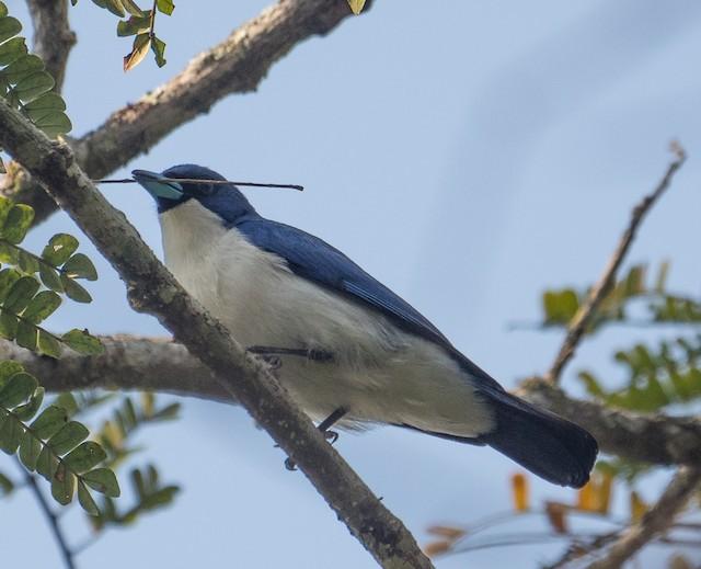 Blue Vanga with twig.