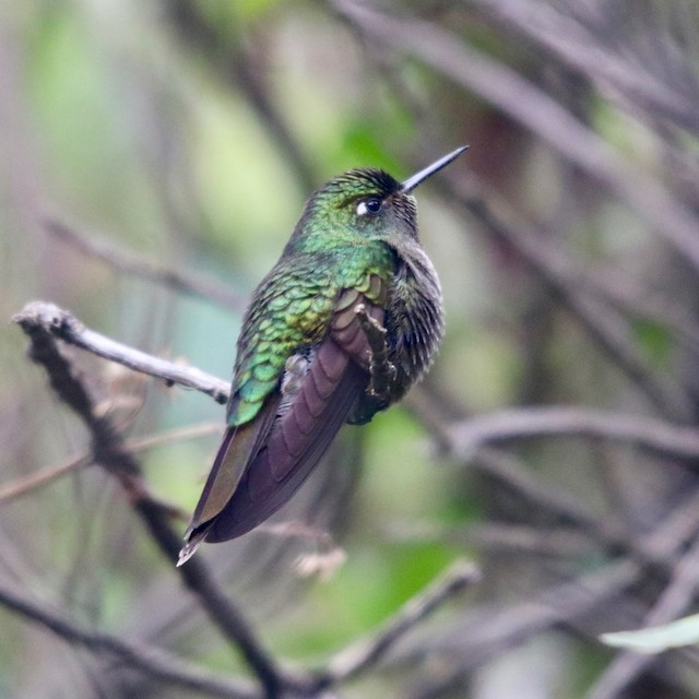 Buff-thighed Puffleg