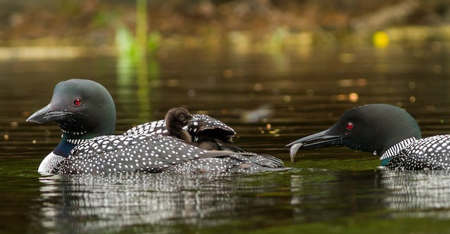 © Fyn Kynd - Common Loon