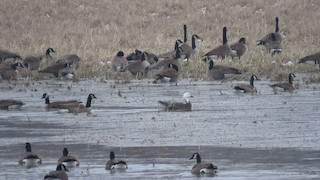 Snow Goose, ML128615221