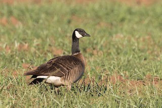 Cackling Goose, ML128738221