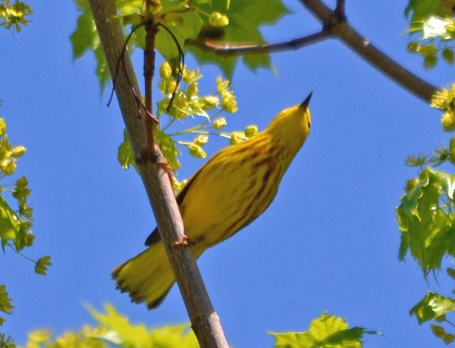 Yellow Warbler (Northern)