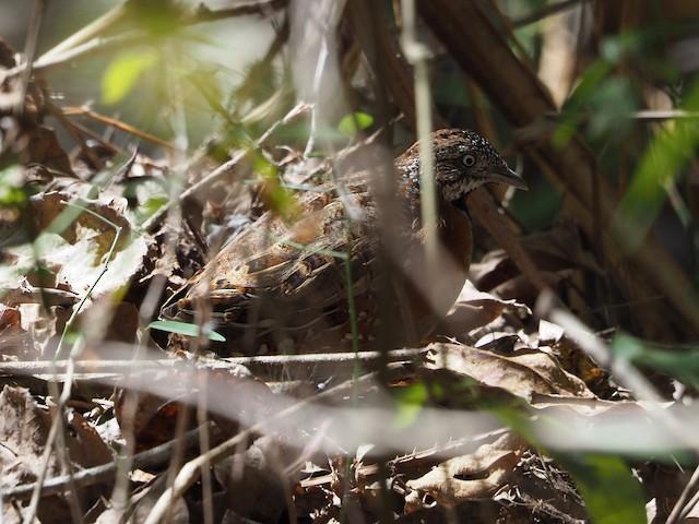 Madagascar Buttonquail
