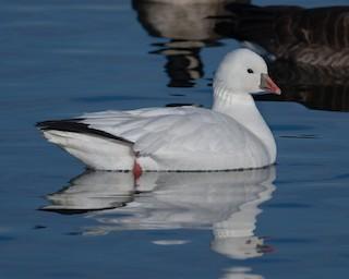 Ross's Goose, ML128896051