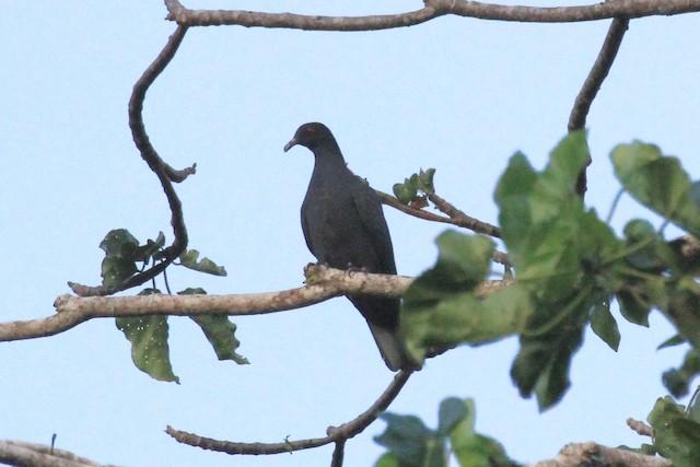 Bismarck Imperial-Pigeon
