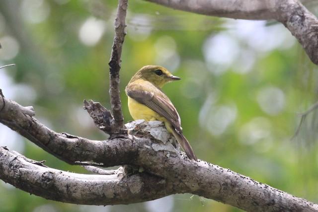 Golden-bellied Flyrobin