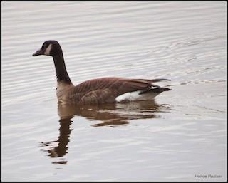 Canada Goose, ML129106141