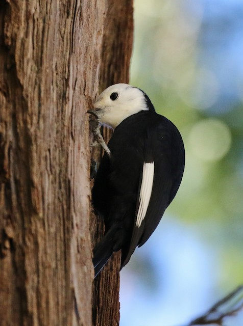 White-headed Woodpecker probing for food.
