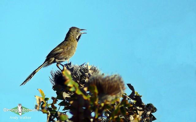 Western Whipbird (Black-throated)