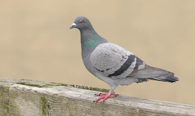 ©Ryan Schain - Rock Pigeon (Feral Pigeon)