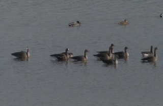 Greater White-fronted Goose, ML129457551