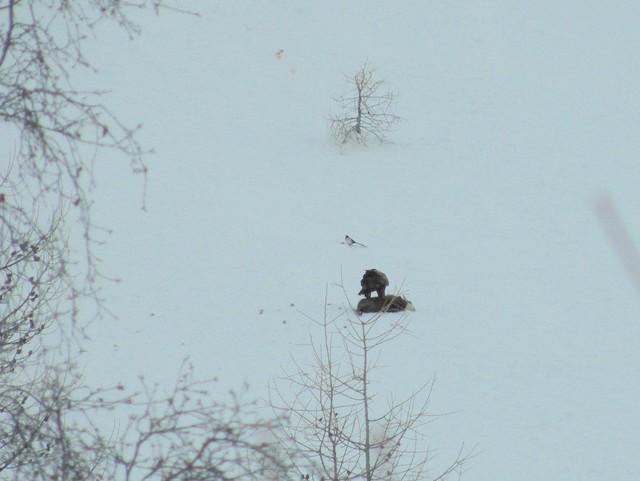 Golden Eagle feeding on chamois (<em>Rupicapra rupicapra) </em>carcass.