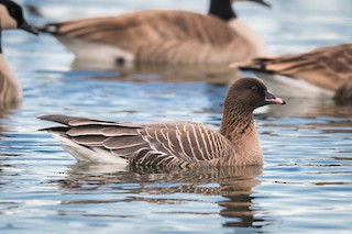 Pink-footed Goose, ML129489531