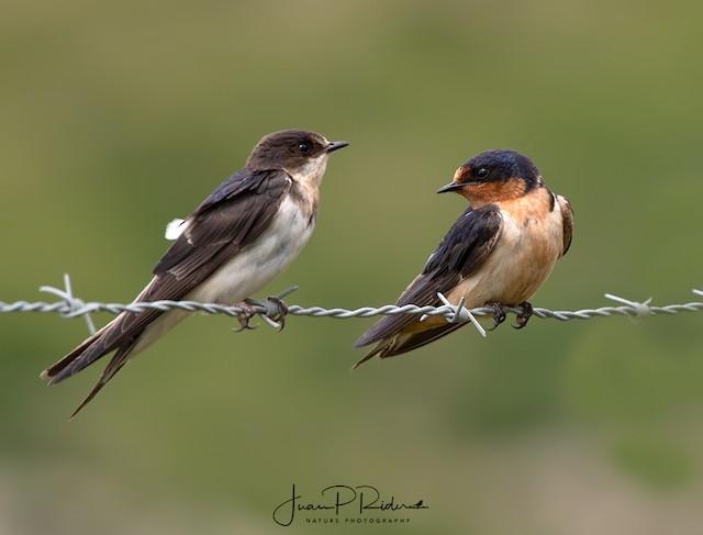 ©JUAN PABLO  RIDER LEGISOS - Barn Swallow