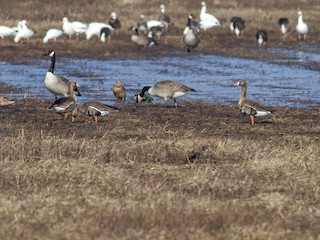 Greater White-fronted Goose, ML129563351