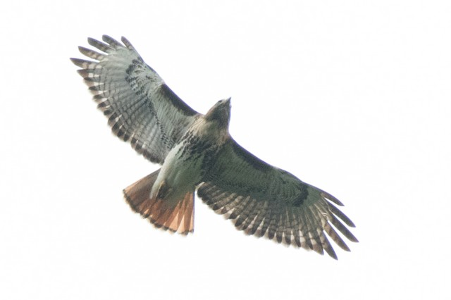 Red-tailed Hawk (solitudinis)