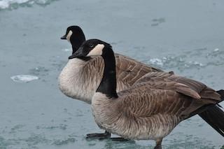 Canada Goose, ML129587711