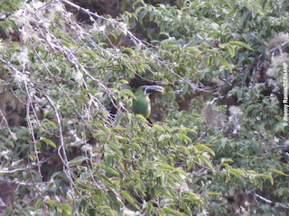 - Yellow-browed Toucanet