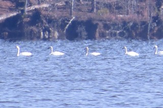 Tundra Swan, ML129669351