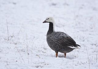 Emperor Goose, ML129686471