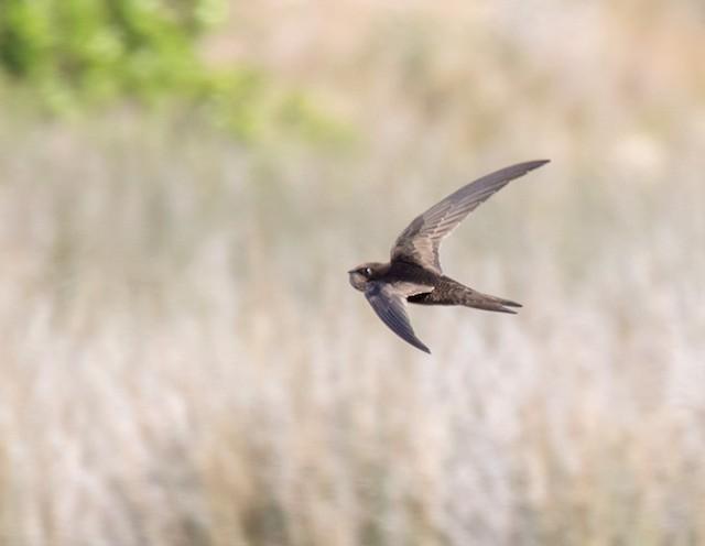 African Swift (African)