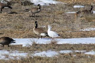 Ross's Goose