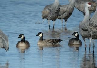 Cackling Goose, ML129855061