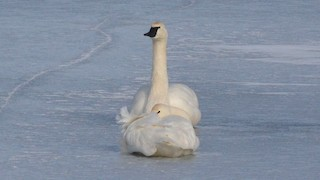 Tundra Swan, ML129898681
