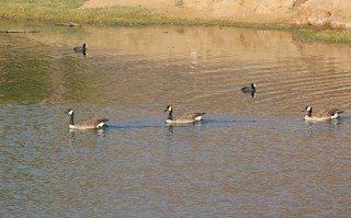 Canada Goose, ML129923021