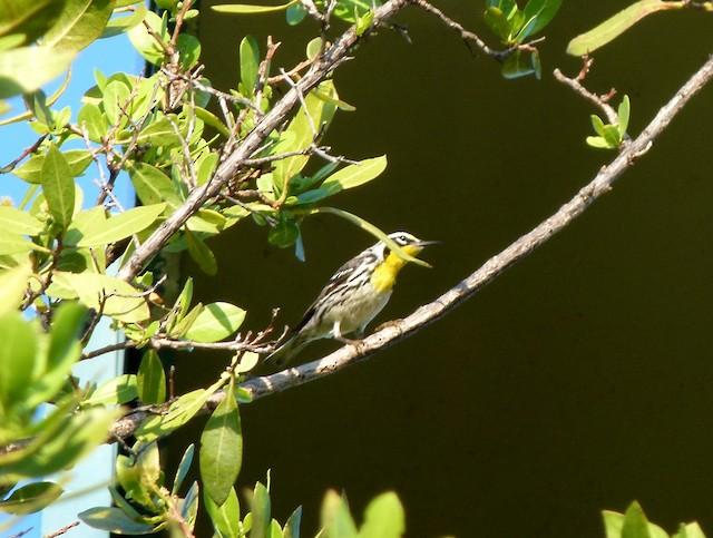 Yellow-throated Warbler (dominica/stoddardi)