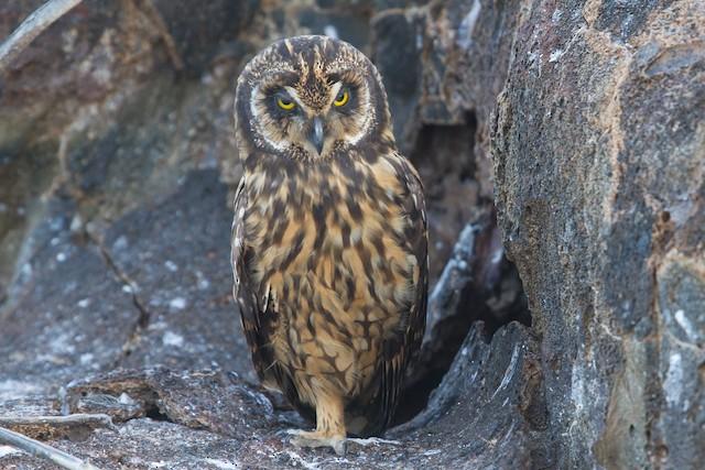 Short-eared Owl (Galapagos)