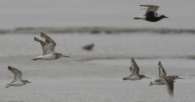 Molting Nordmann's Greenshanks in coastal China.