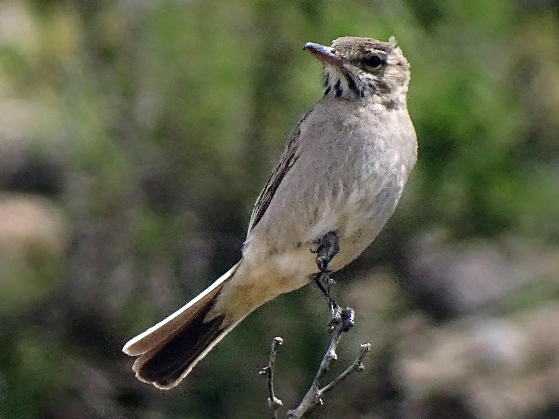 Gray-bellied Shrike-Tyrant - Andrés de Miguel