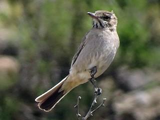 - Gray-bellied Shrike-Tyrant
