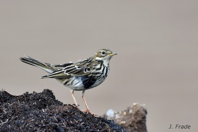 ©José Frade - Red-throated Pipit