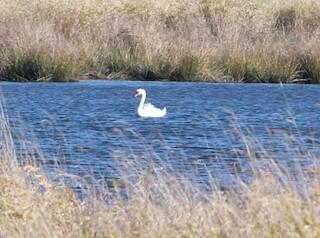 Mute Swan, ML130556361