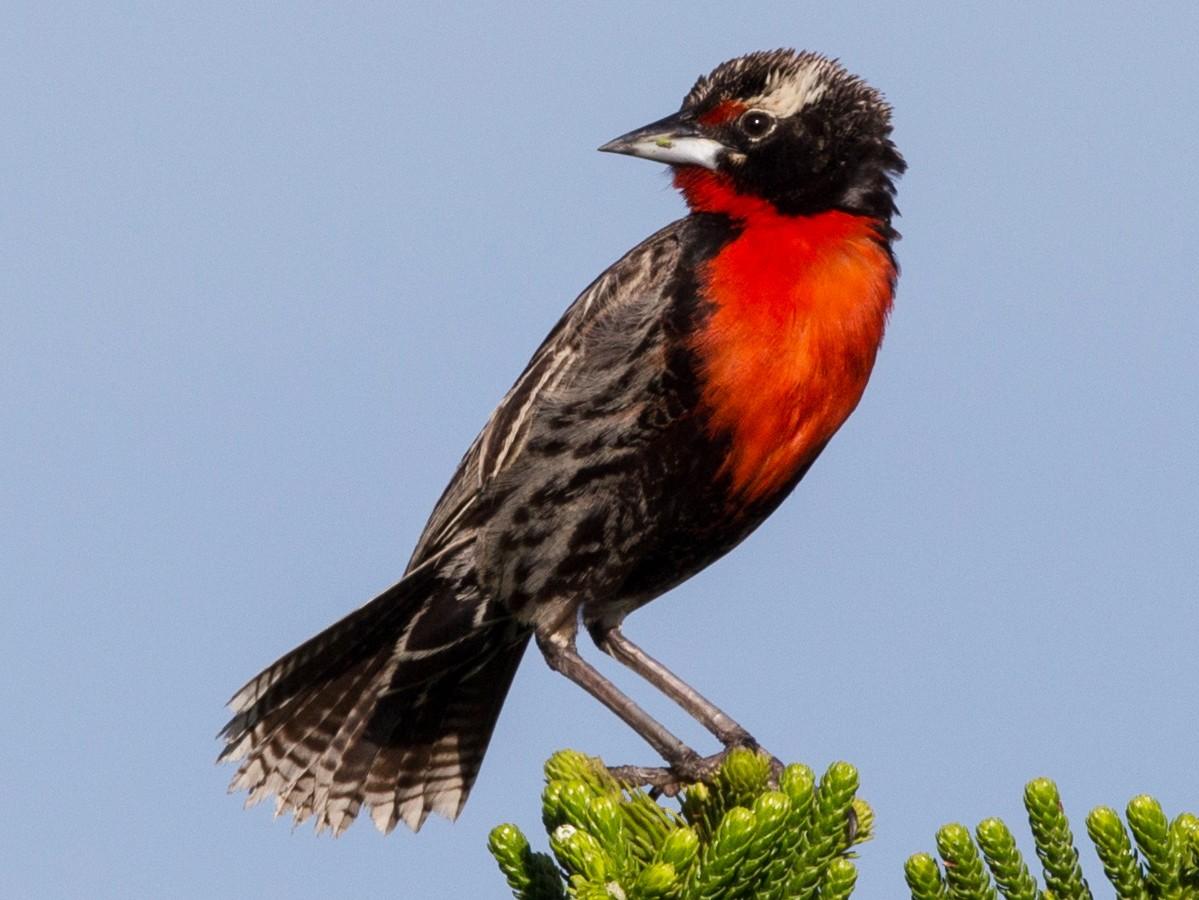 Peruvian Meadowlark - Bob Shettler