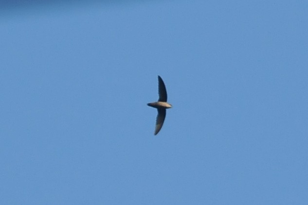 Gray-rumped Swift