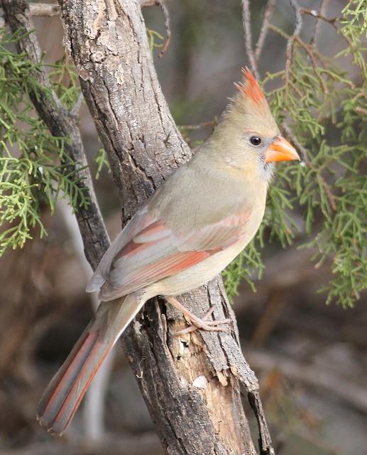 Female (presumably subspecies <em>canicaudus</em>).