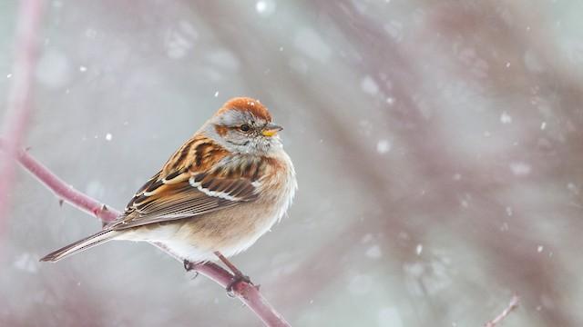American Tree Sparrow Ebird