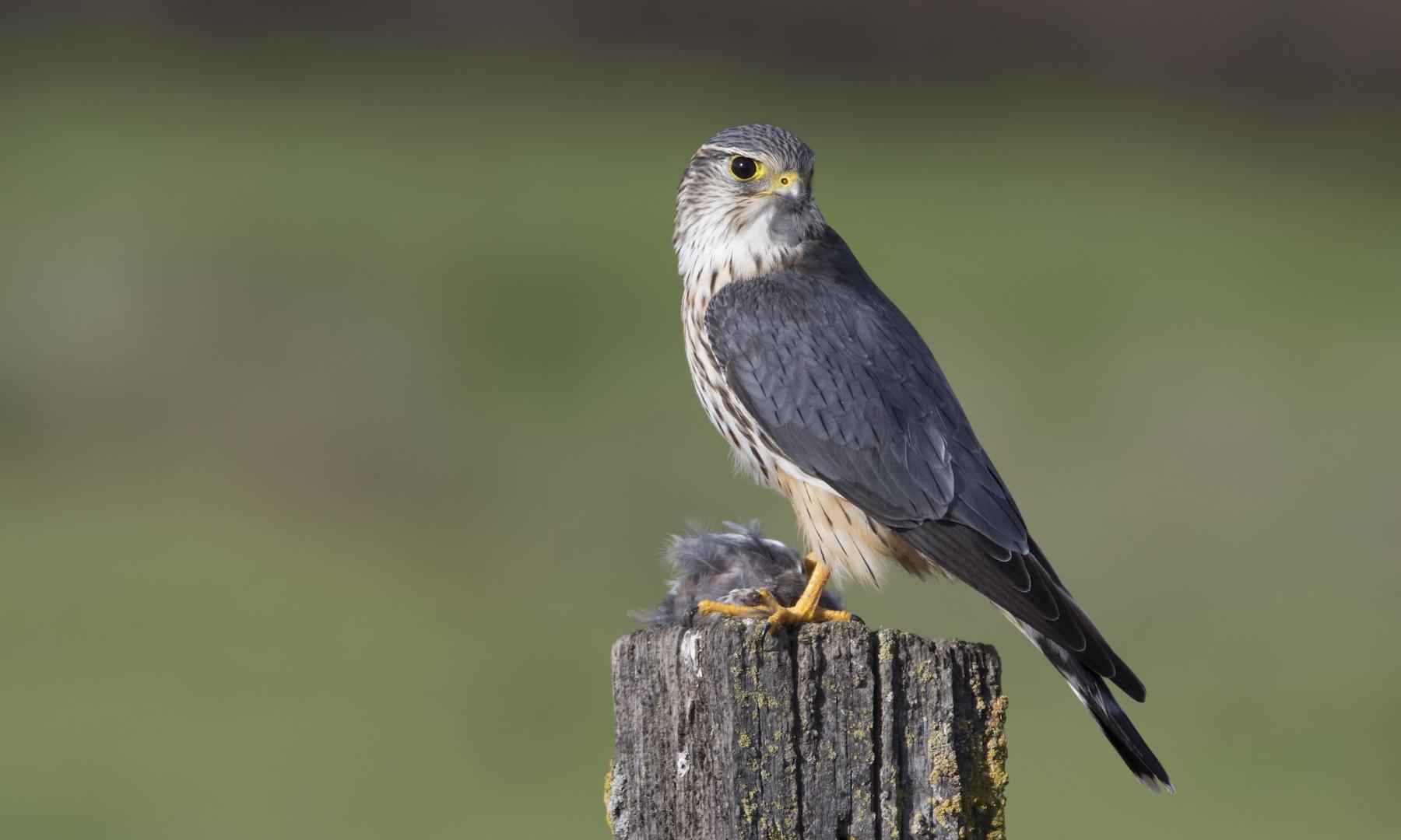 Merlin (Taiga) - Brian Sullivan