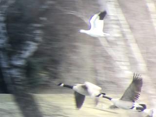 Ross's Goose, ML131618041