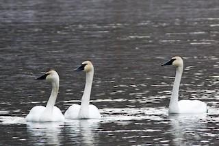 Trumpeter Swan, ML131720581