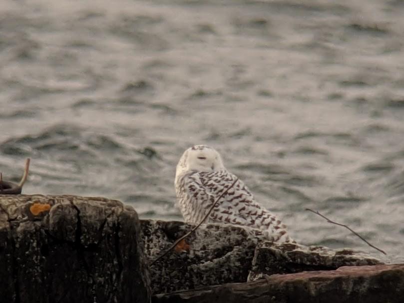 Snowy Owl ML132212681