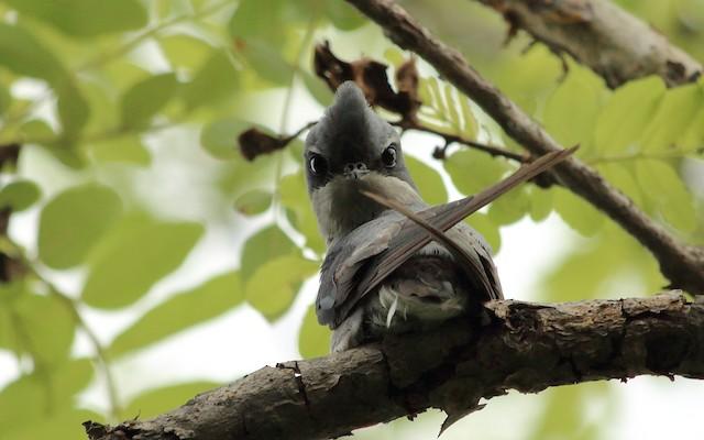 Crested Treeswift
