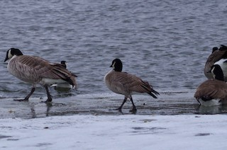 Cackling Goose (Richardson's), ML132603151