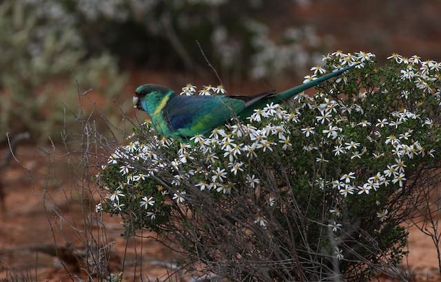 Australian Ringneck (Mallee)