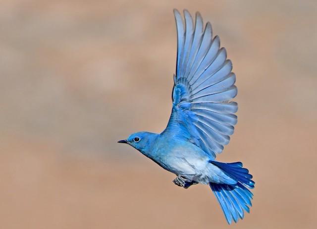 Photos Mountain Bluebird Sialia Currucoides Birds Of The World