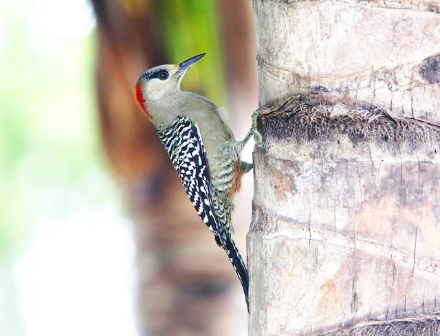 Female (subspecies <em>blakei</em>).