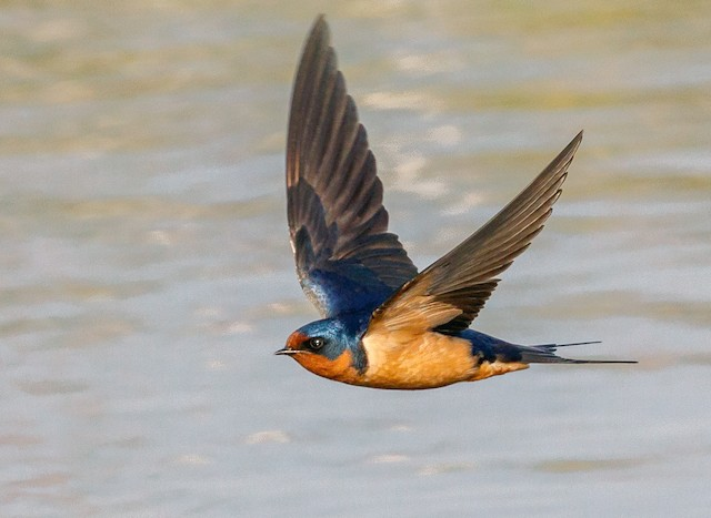 photos barn swallow hirundo rustica birds of the world photos barn swallow hirundo rustica
